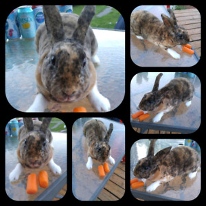 Female mini rex bunny
