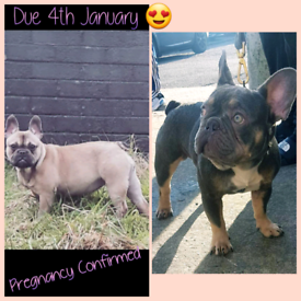 Chunky quality french bulldogs