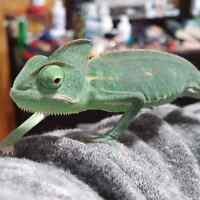 Veiled Chameleon for Sale or Trade.