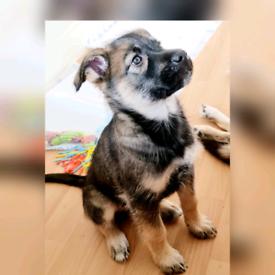 Amazing and beautil Husky alsatian Puppy