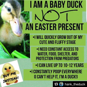 Ducks and chicks are a 10 year commitment