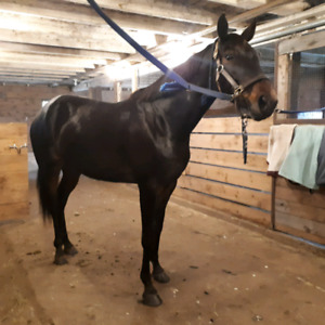 Pony for Intermediate rider Sale or Lease