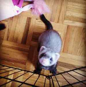 Friendly 6 month old male Ferret