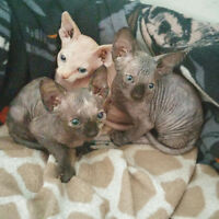 Sphynx Kittens $600 and $950