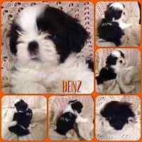 CKC Registered Shih-Tzu Puppies - AVAILABLE NOW!