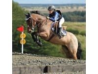 138 11 year old gelding for sale