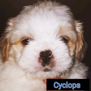 ALL PUPPIES HAVE HOMES...shih tzu poodle cross!