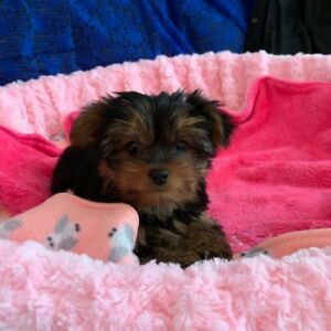 Yorkie & Morkie Puppies for sale