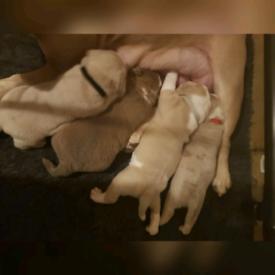 Beautiful bulldogge puppies