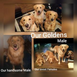 Golden Retriever puppies in May/June