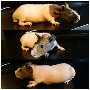 Skinny and Guinea pigs for sale!!