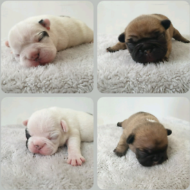 KC REGISTERED French Bulldog puppy
