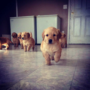 Only 2 males left!!!!   Pure bred GOLDEN RETRIEVER PUPPIES