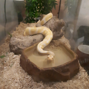 Albino ball python and enclosure