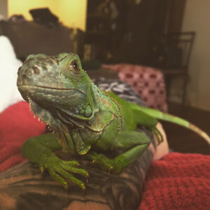 3 Year Old Female Iguana