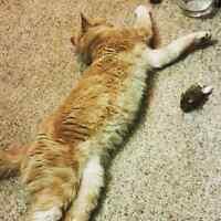 MISSING: Male ginger/white cat