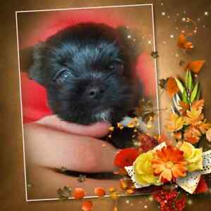 Tiny micro teacup Shorkie. Yorkie shih tzu puppy