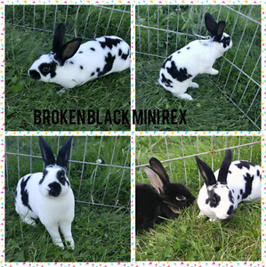 Broken black mini rex bunny