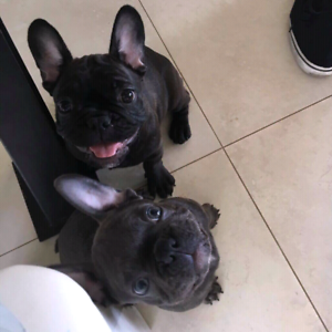 FRENCH BULLDOG BREEDER - BRINDLE AND FULL BLUE NO PATCHES