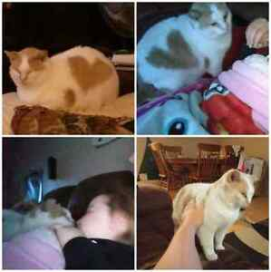 Cat (please read all of description) Kitchener / Waterloo Kitchener Area image 1