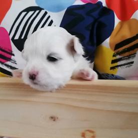 Kc reg Pure Maltese Puppies