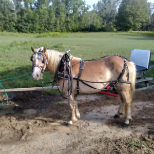 Halflinger Mare For Sale