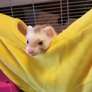 4.5 month old cinnamon marshal ferret