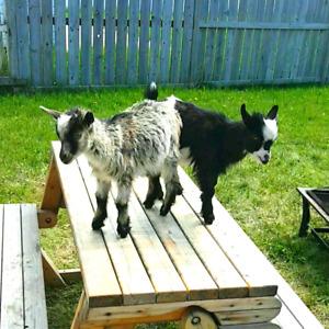 Dwarf pygmy goat kids