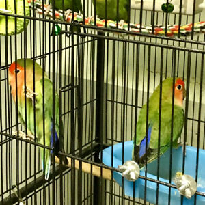 Lovebird | Adopt Local Birds in Alberta | Kijiji Classifieds