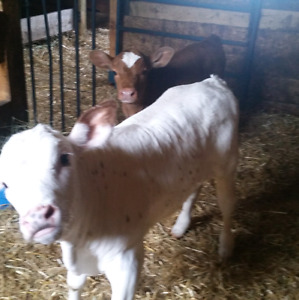 2 bottle bull calves for sale 3 and 6 weeks old