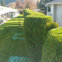 Hedge and Shrub trimming and downsizing