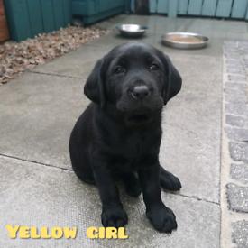 Wonderbaarlijk Labrador in Northern Ireland | Dogs & Puppies for Sale - Gumtree VQ-27