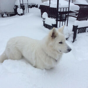 samoyed a donner / free to good home