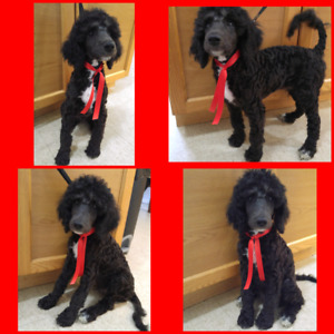 4 male Standard Poodle puppies
