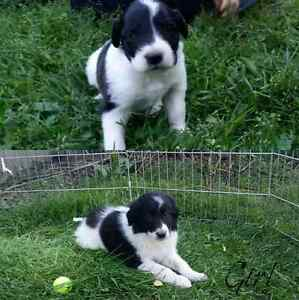 Rough Sable Collie x Pyrenees puppies for sale.
