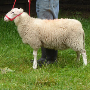 registered purebred East Friesian Dairy Sheep