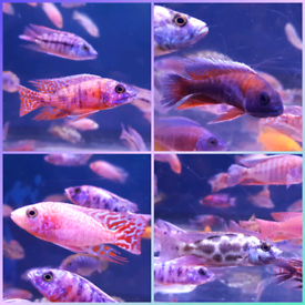 Malawi Cichlids Tropical Fish Not Marine or Discus
