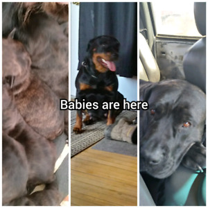 German Rottweiler/ Portuguese masiff puppies