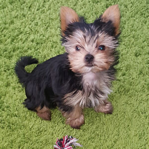 Yorkshire terrier female up to 1 year
