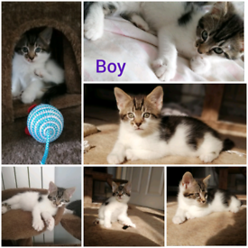 3 lovely kittens for sale, 8 weeks old( all sold)