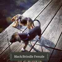 ***One female left*** RARE CATAHOULA LEOPARD DOG PUPPIES