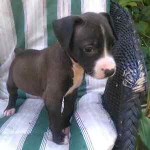 American Banddog Mastiff