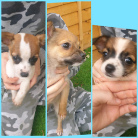 3 left beautiful chihuahua puppies