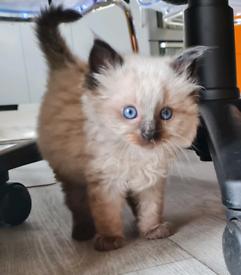Ragdoll Kittens Ready Tuesday - 2 remaining