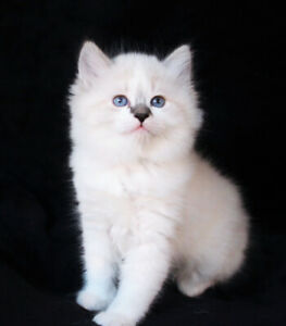 Lovely Ragdoll Kittens are Available for Rehoming