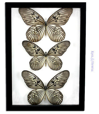 3 x Rice Paper Butterflies (Idea leuconae) Butterfly * Museum Mount Taxidermy for sale  Shipping to Canada