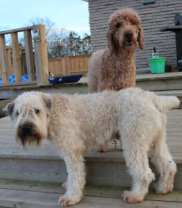 Whoodle Puppies $1500