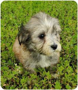 Havanese A | Kijiji in Edmonton  - Buy, Sell & Save with Canada's #1