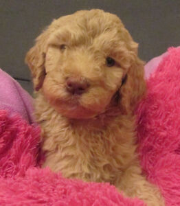 GOLDENDOODLE X STANDARD POODLE: New litter arriving Labour Day