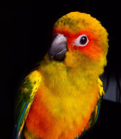 Sun Conure - Conure Soleil $600 with EVERYTHING INCLUDED FOR HER